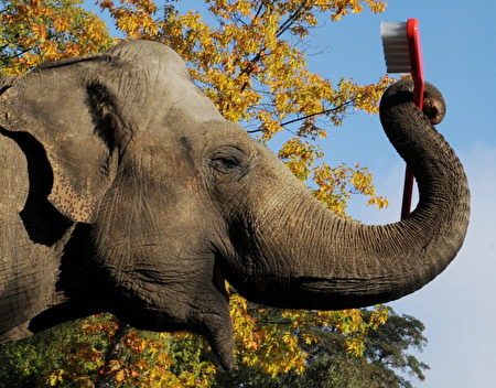 德國一家動物園內,一隻名叫Mogli的大象握著一隻巨型牙刷。(ANGELIKA WARMUTH/AFP/Getty Images)