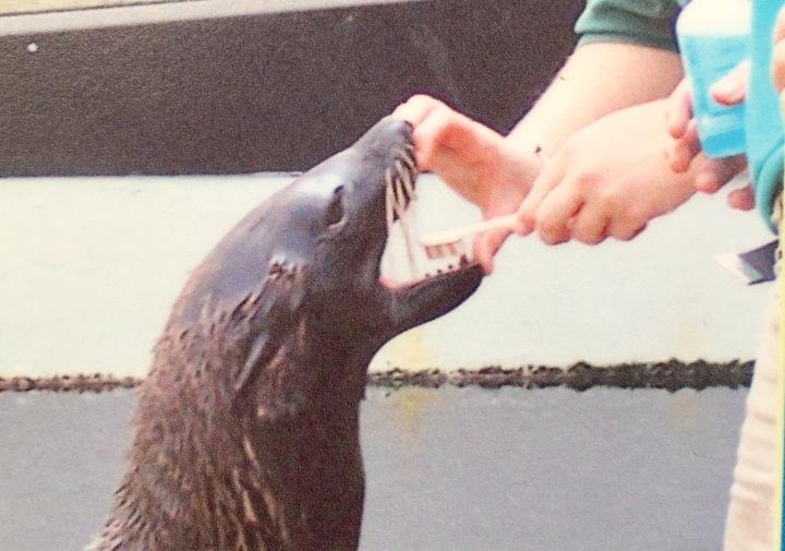 波士頓新英格蘭水族館的獸醫,正在幫海獅刷牙~