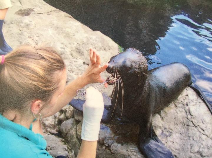 波士頓新英格蘭水族館的獸醫,正在幫海獅檢查牙齒!